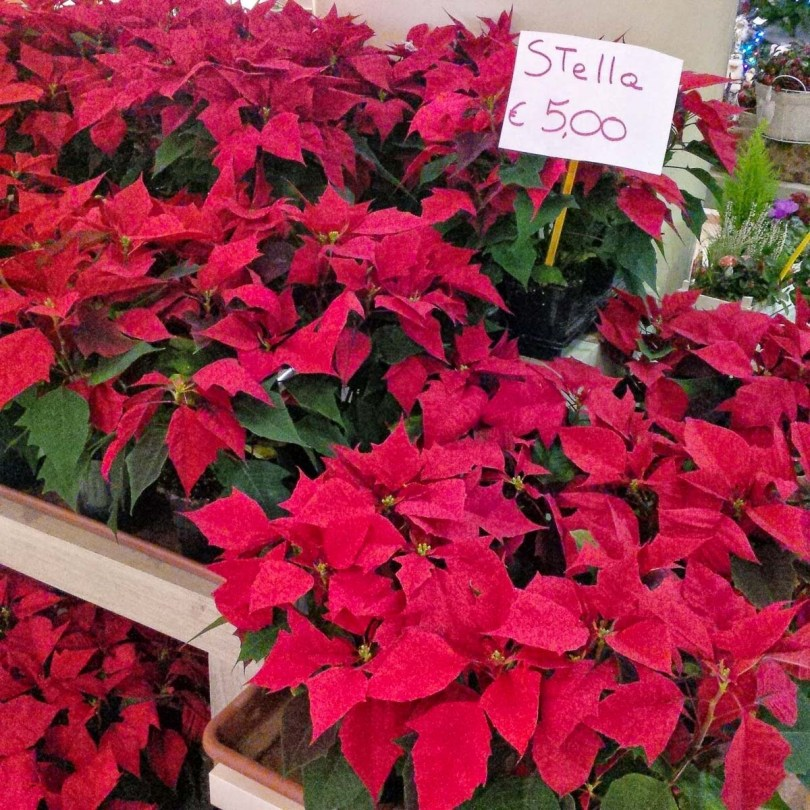 A display of poinsettias in a shop - Vicenza, Italy - rossiwrites.com