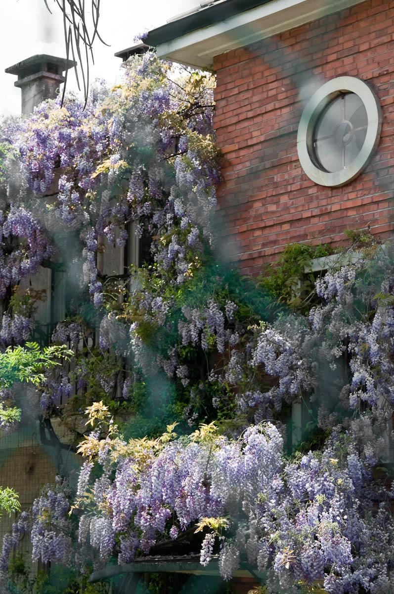Wisteria draping a house, Vicenza, Veneto, Italy
