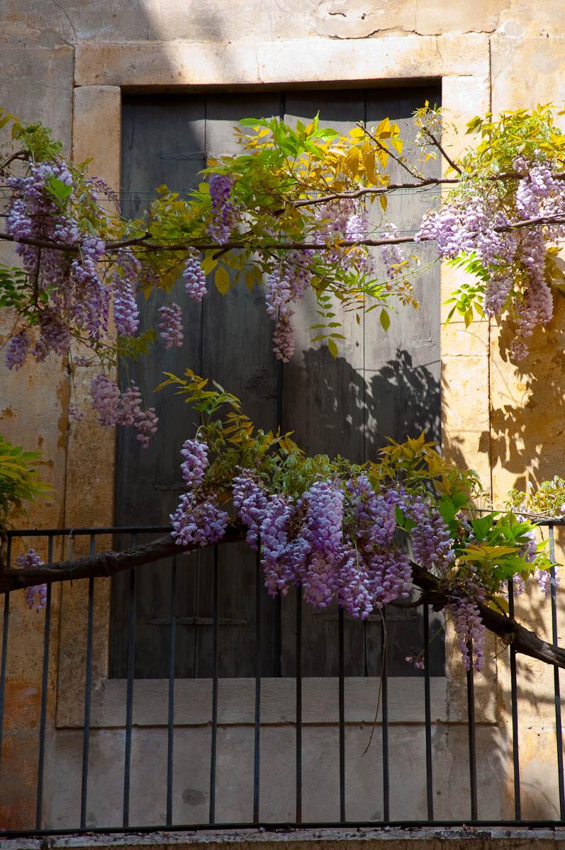Wisteria tree, Vicenza, Veneto, Italy