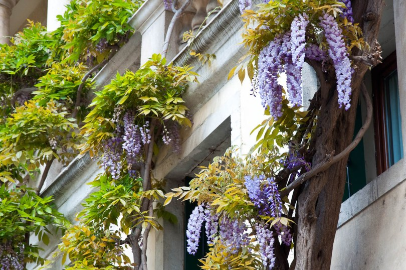 Wisteria tree climbing up a wall, Vicenza, Veneto, Italy