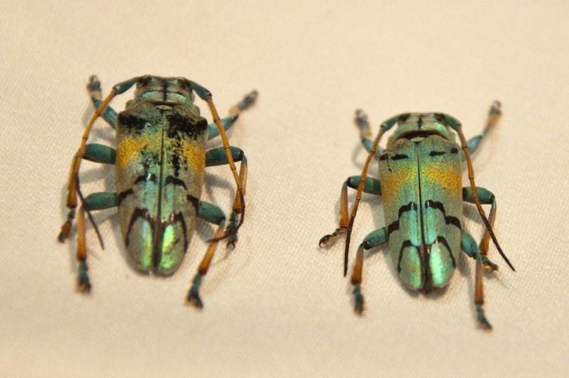 Beetles, Esapolis, Padua, Veneto, Italy - www.rossiwrites.com