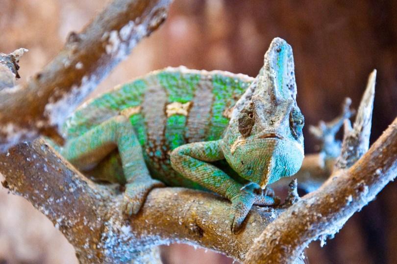 Chameleon, Esapolis, Padua, Veneto, Italy - www.rossiwrites.com