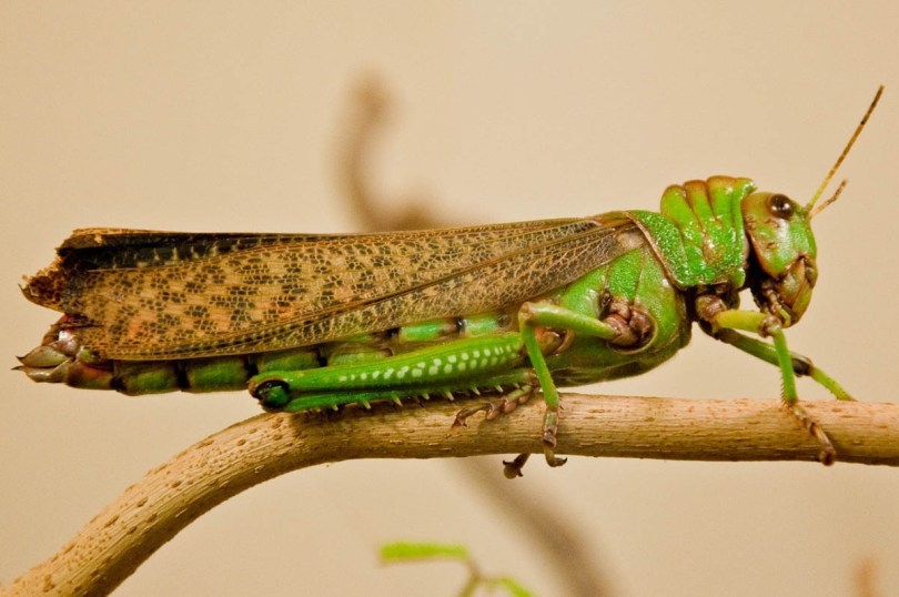 Grasshopper on a branch, Esapolis, Padua, Veneto, Italy - www.rossiwrites.com