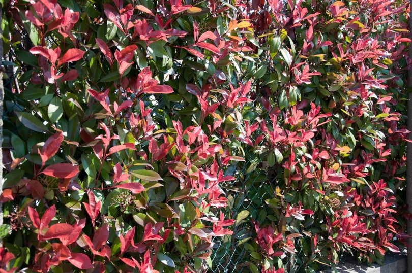 Photinia Little Red Robin shrub fence, Vicenza, Italy
