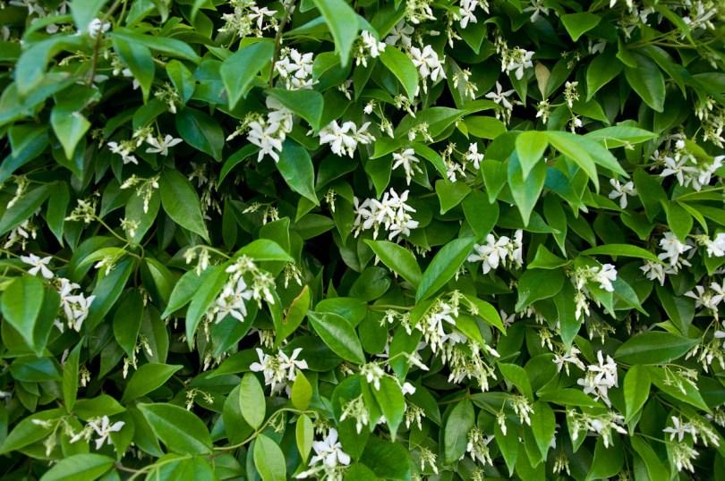 Wild jasmine shrub, Vicenza, Italy