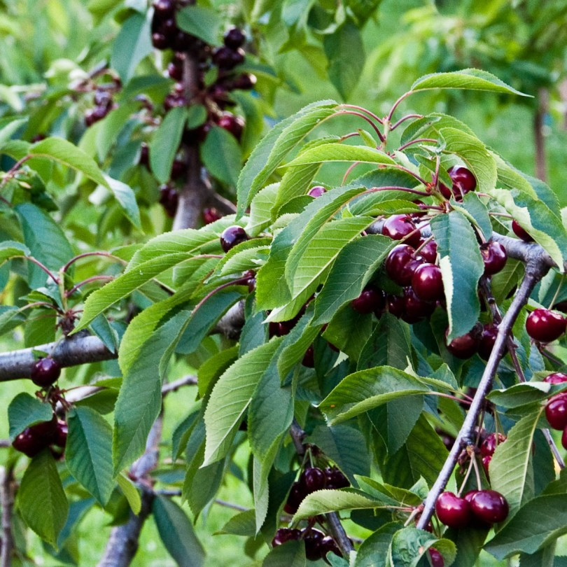 Cherries on a cherry tree, Festa dea Siaresa, Castegnero, Veneto, Italy - www.rossiwrites.com