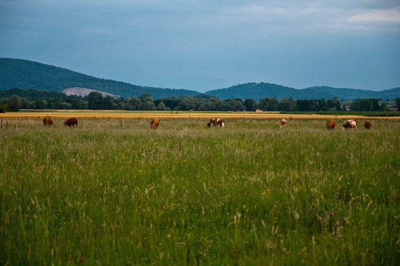 The view from the lounge of our mobile home, Grazing cows, Primostek, Big Berry Glampsite, Slovenia - www.rossiwrites.com