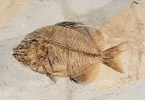 A fish fossil, The Fossil Museum, Bolca, Province of Verona, Italy - www.rossiwrites.com