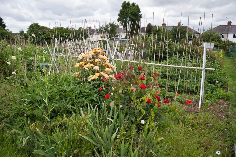 An allotment with roses, England - www.rossiwrites.com