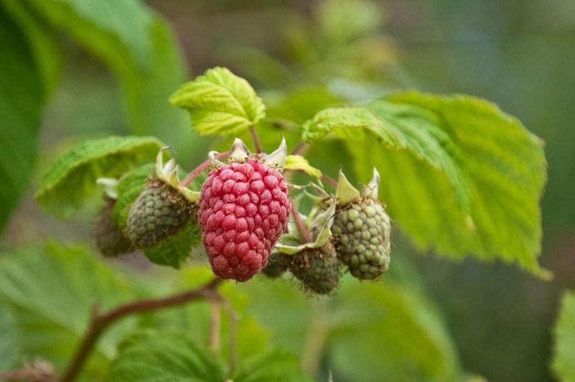 Loganberries, England - www.rossiwrites.com