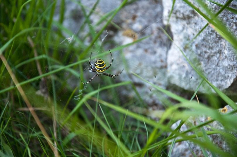 A huge Argiope Bruennichi spider, Molina, Province of Verona, Italy - www.rossiwrites.com