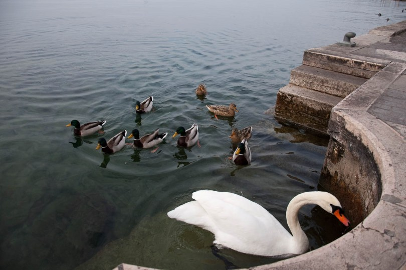 Feeding the swan and the ducks - Lazise, Lake Garda, Italy - www.rossiwrites.com