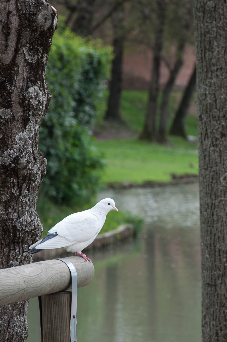 A white pigeon and the moat - Noale, Veneto, Italy - www.rossiwrites.com