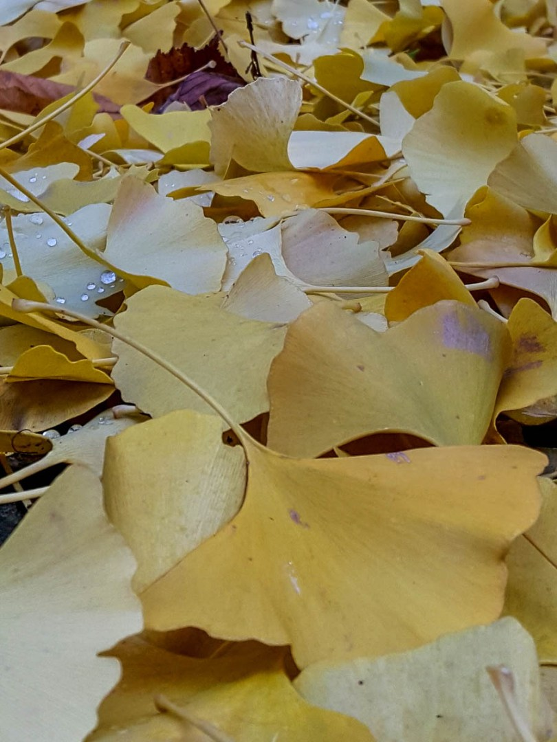 Autumn foliage - Beautiful yellow leaves of the ginkgo biloba trees in the garden of the Church of Santa Corona, Vicenza, Veneto, Italy - www.rossiwrites.com_