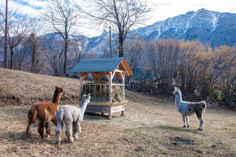 A herd of alpacas, Maso Edin Bio Farm - Trentino, Italy - rossiwrites.com
