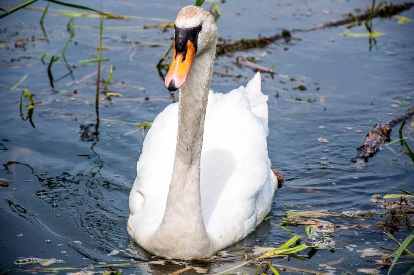 Swan - Lake Fimon, Arcugnano, Vicenza, Veneto, Italy - www.rossiwrites.com