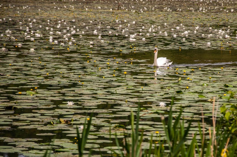 Swan among the water-lilies - Lake Fimon, Arcugnano, Vicenza, Veneto, Italy - www.rossiwrites.com