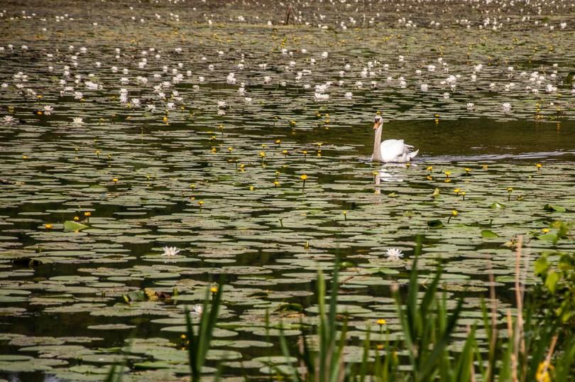 Swan among the water-lilies - Lake Fimon, Arcugnano, Vicenza, Veneto, Italy - www.rossiwrites.com