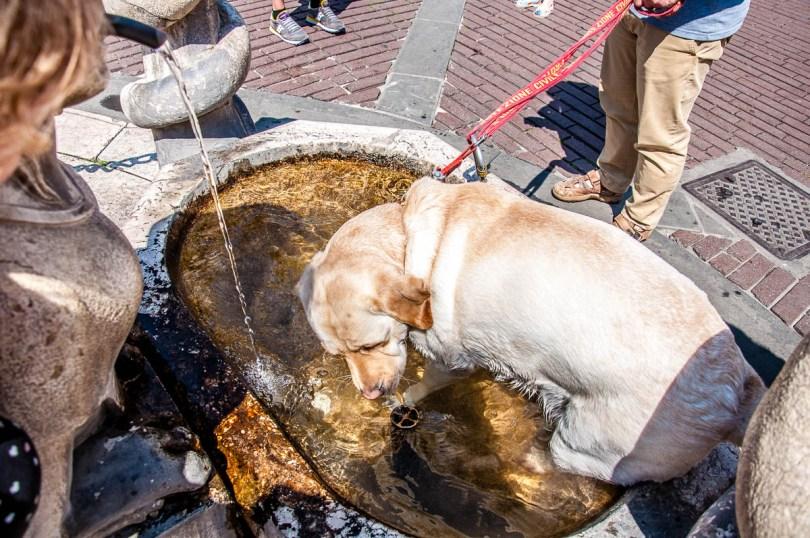 A dog taking a bath in the Cotarini Fountain at Piazza Vecchia - Bergamo Upper City, Lombardy, Italy - www.rossiwrites.com