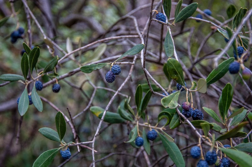 Olives dried on their branches - Campo di Brenzone, Lake Garda, Italy - www.rossiwrites.com