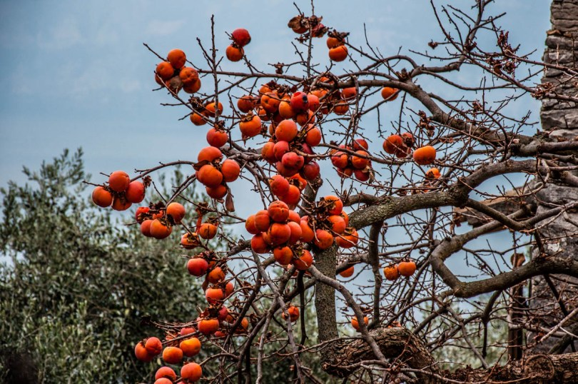 Persimmon tree covered in ripe fruit - Campo di Brenzone, Lake Garda, Italy - www.rossiwrites.com