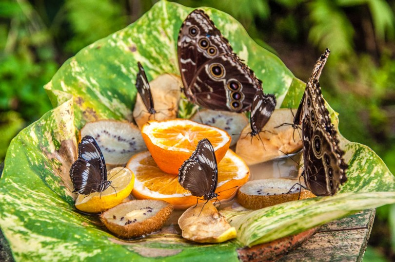 Feeding butterflies - Butterfly House, Oasi Rossi - Santorso, Italy - www.rossiwrites.com