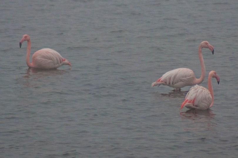 Flamingos - Delta del Po, Italy - www.rossiwrites.com