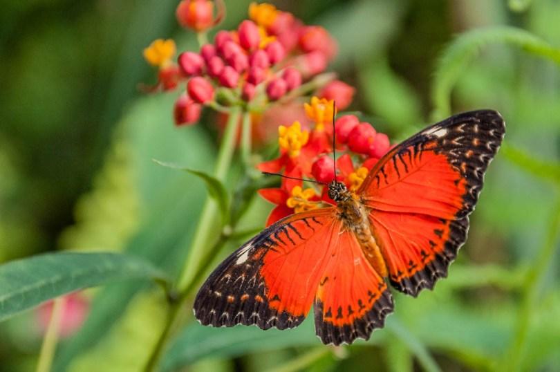 Orange butterfly - Butterfly House, Oasi Rossi - Santorso, Italy - www.rossiwrites.com