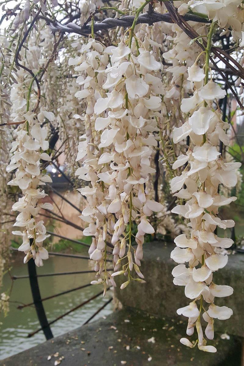 White wisteria - Vicenza, Veneto, Italy - www.rossiwrites.com