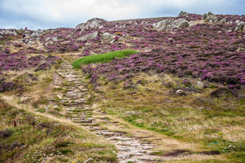 Heather fields - Holyhead - Isle of Anglesea - Wales, UK - rossiwrites.com