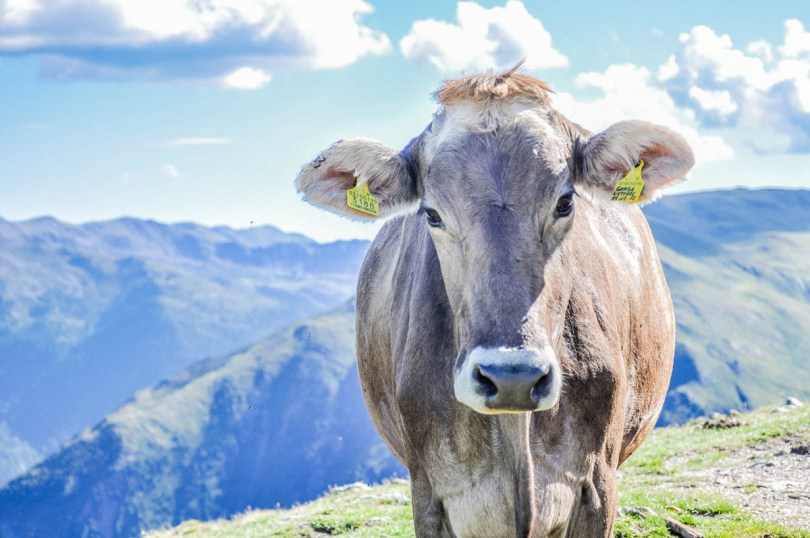 Cow in the Dolomites - South Tyrol, Italy - rossiwrites.com