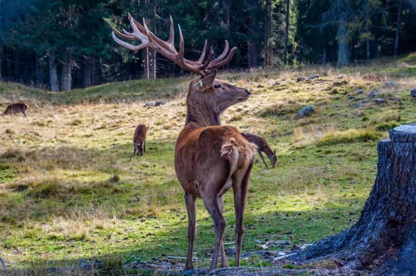 Deer in Paneveggio - The Violins' Forest - Dolomites, Trentino, Italy - rossiwrites.com