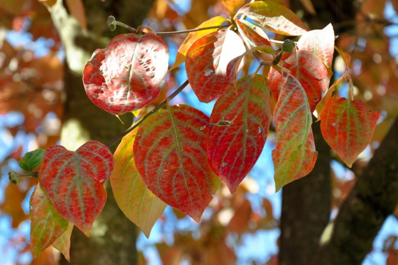 Red foliage - Trees in autumn - Feltre, Veneto, Italy - rossiwrites.com