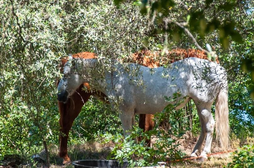 Horses in the olive grove - Crero, Lake Garda, Veneto, Italy - rossiwrites.com