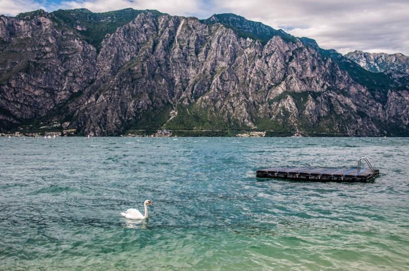 A swan swimming in the lake - Navene, Lake Garda, Veneto, Italy - rossiwrites.com