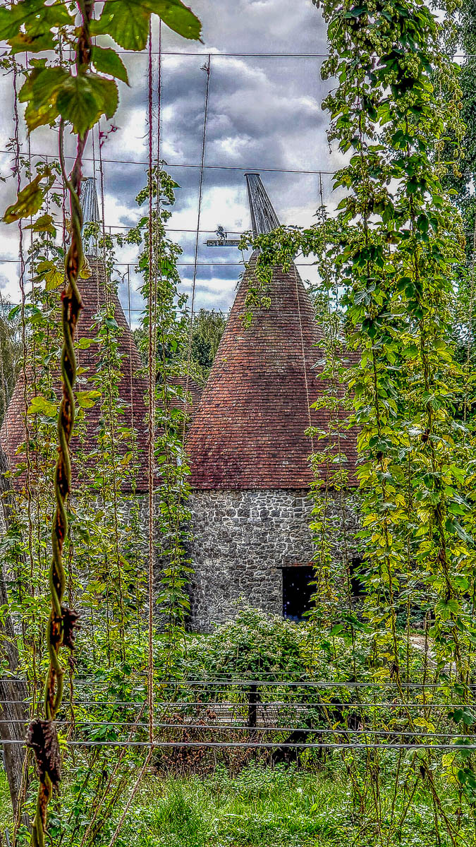 Hop plants with the oast house - Kent Life - Maidstone, Kent, England - rossiwrites.com