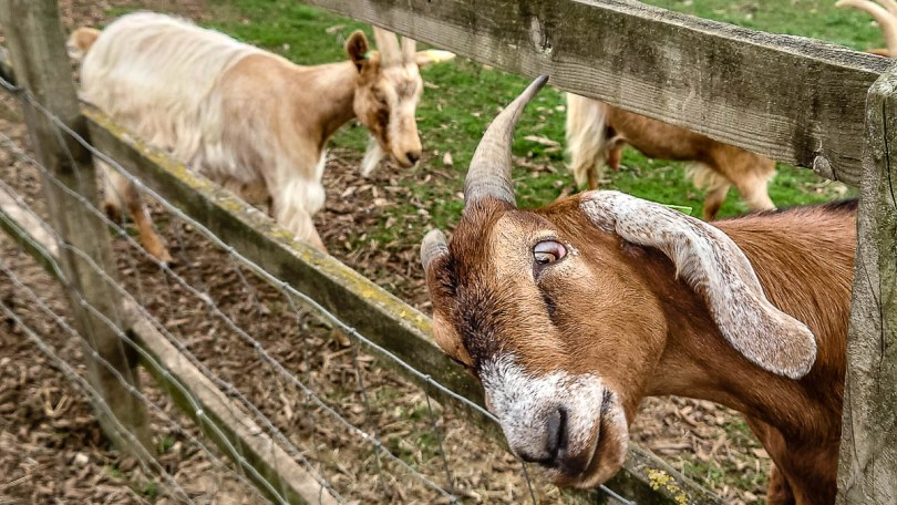 Two goats - Kent Life - Maidstone, Kent, England - rossiwrites.com