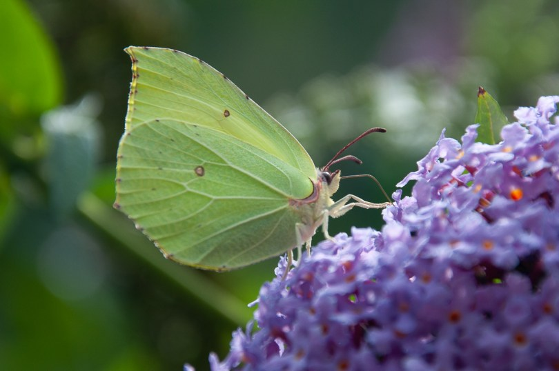 A purple flower with a green butterfly - Dolomites, Italy - rossiwrites.com