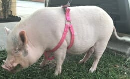 Pet pig harness