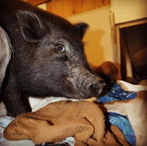 Wide eyed pig