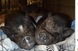 Two pigs cuddling, compatible companion
