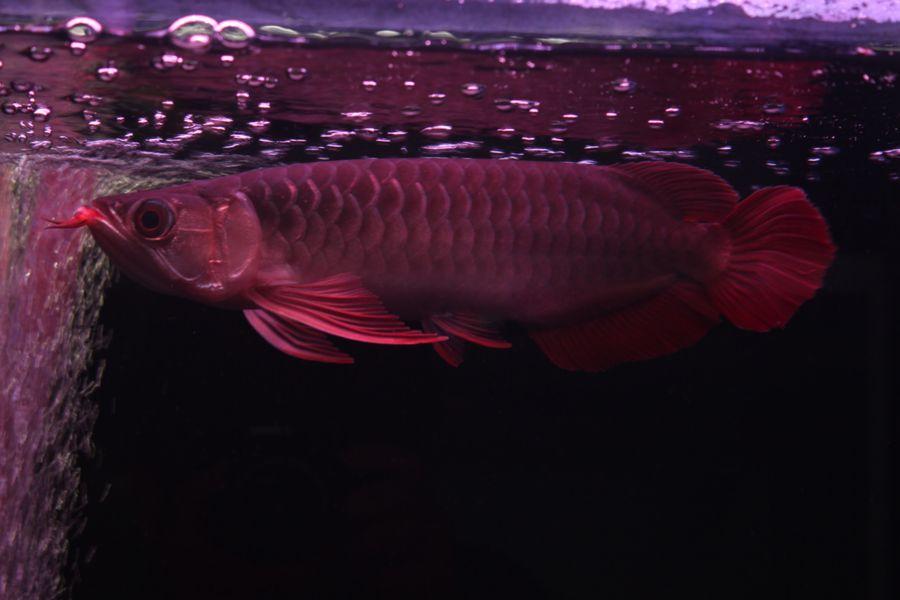ImperialArowana Imperial Red±25  SOLD