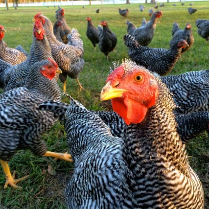 Heritage Breeds – a Last Stand for Real Food