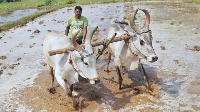 Naveen Krishnan ploughing his field.