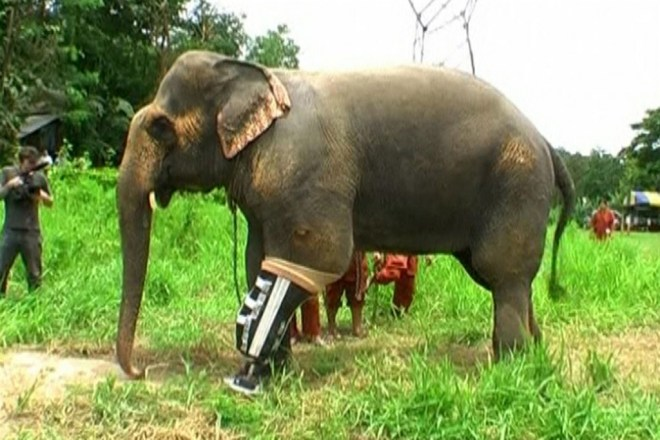 <strong>Prosthetic limb for Thai elephant </strong><br /> Mosha, the elephant, gets her ninth artificial leg at a hospital in Thailand. She was the first elephant to be fitted with prosthetic leg a decade ago when she was maimed by a landmine near Myanmar. She was 7 months old then and weighed about 600 kg. Today her weight is about 2,000 kg. Her growth necessitates frequent upgrades of the prosthetic limb. A Thai orthopaedician, Dr Therdchai Jivacate, designs these prosthetic limbs for the elephants.
