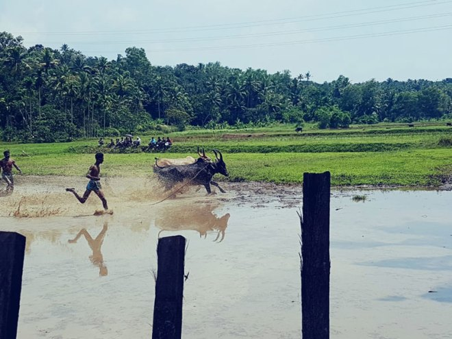 Cattle-race-organsied-by-RC-Quilon-Heritage1