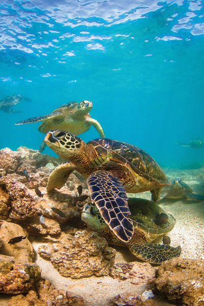 Green sea turtles, called honu in Hawaiian, are a symbol of good luck — and of the 2020 Rotary Convention.