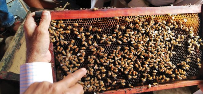 Honeybees building honeycombs on a frame.