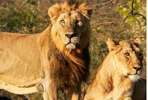 Zoo shuts down after lions test Covid positive Zoo officials at the Nehru Zoological Park in Hyderabad raised an alarm when they saw a pack of lions wheezing with dry cough, nasal discharge and loss of appetite and the pack was tested for Covid -19. Eight lions tested positive and were found with mild symptoms.  They were isolated and the zookeepers taking care of them were asked to wear protective gears and masks. The park was shut for the public as a precautionary measure and other animals were put under observation.
