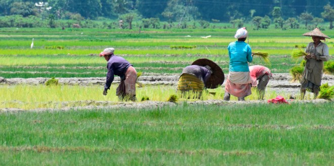 Women are back to work at the paddy fields.